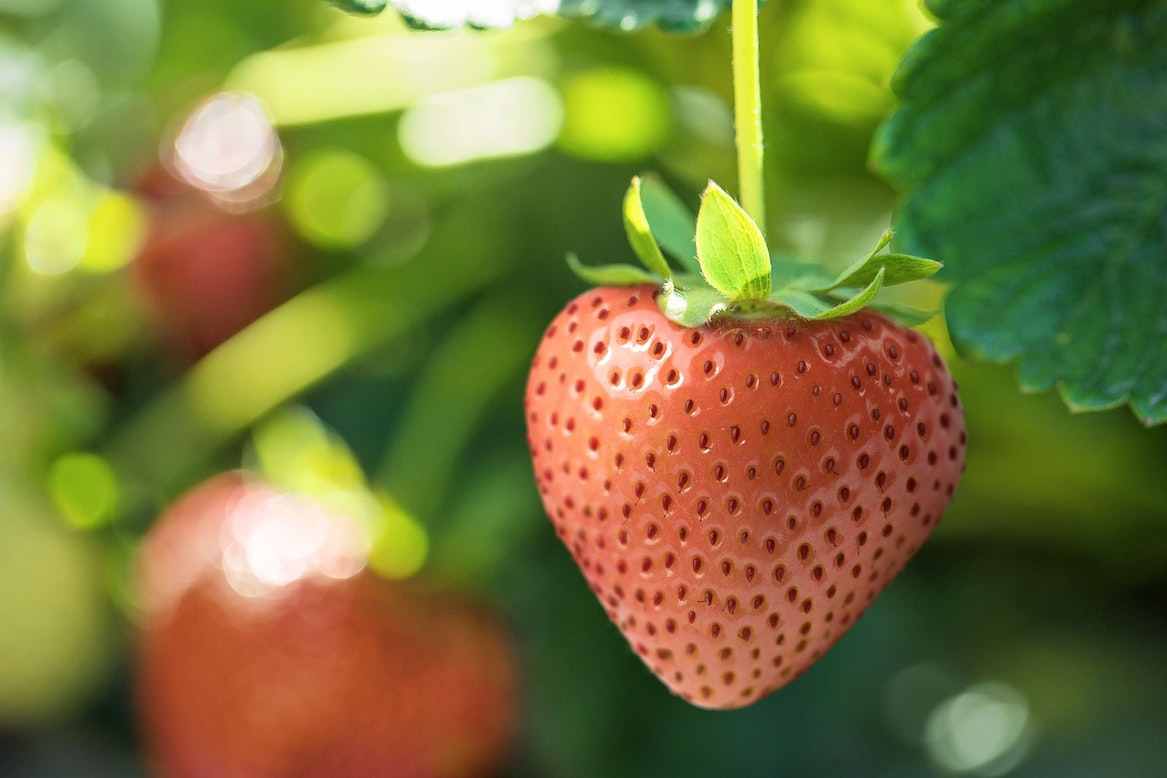 A strawberry on the vine.