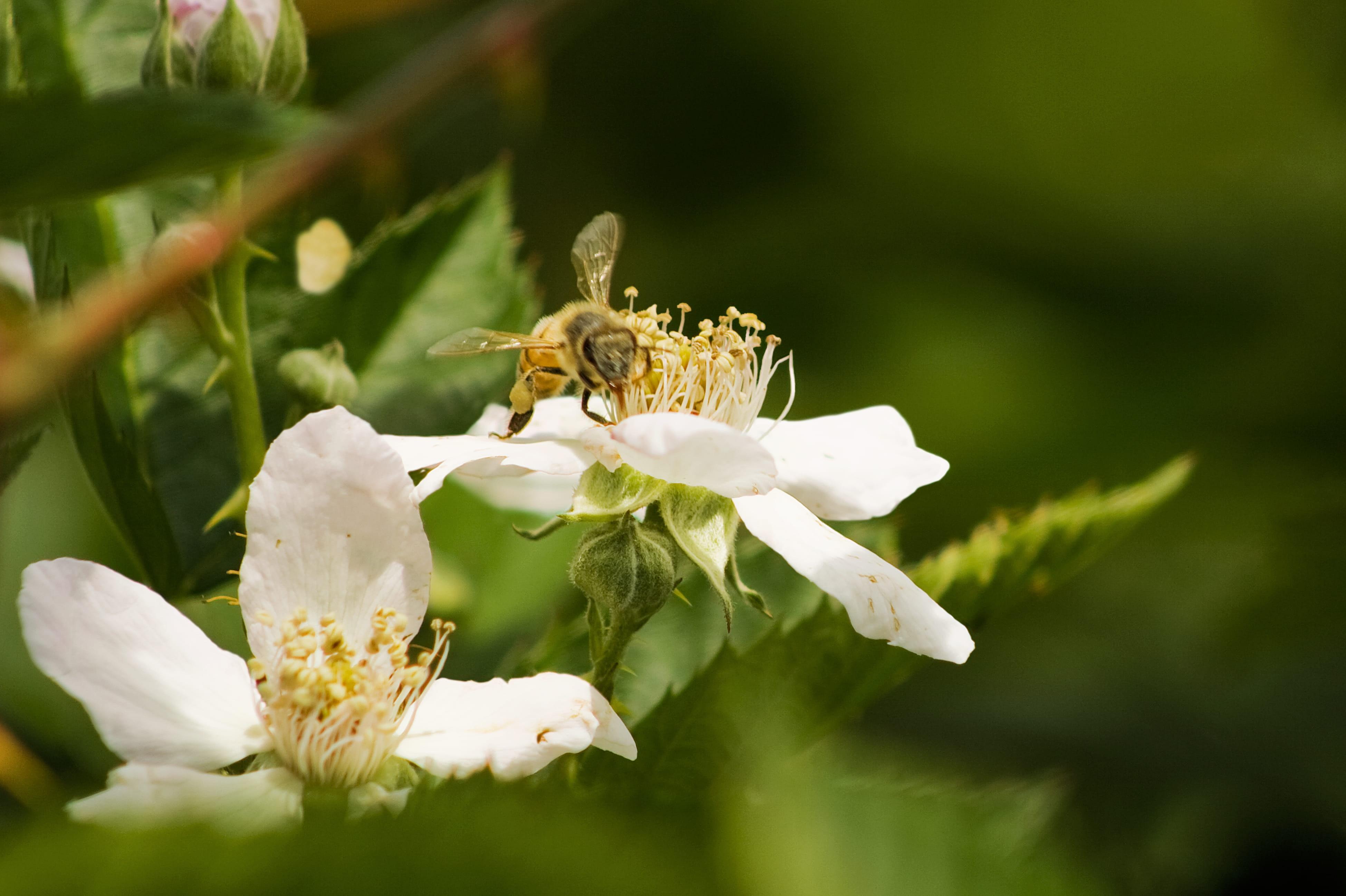 Bee pollinating organic berries