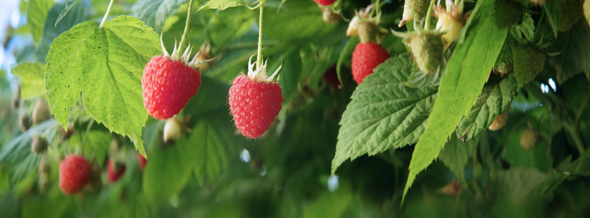 Come Coltivare I Lamponi i primi 100 anni dei lamponi driscoll's - italian berry