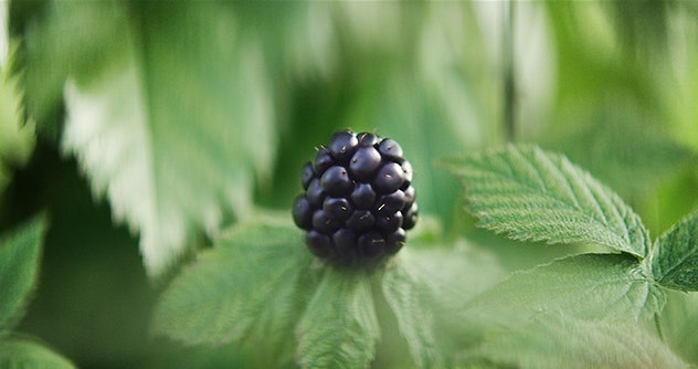 blackberry on the plant