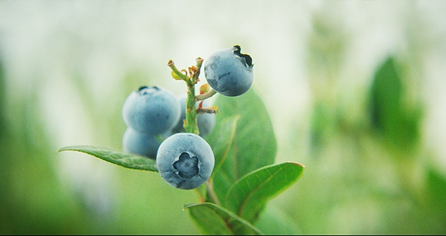 blueberry on the plant