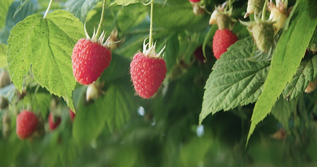 raspberry on the plant
